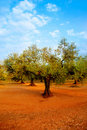 Olive tree fields in red soil in Spain Royalty Free Stock Photo