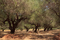 Olive tree garden Stock Photo