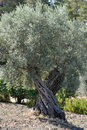 Olive tree in Greece Stock Photography