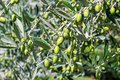Olive tree with green fruits and leaves Royalty Free Stock Photo