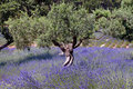 Olive Tree and Lavender Field, France 016 Royalty Free Stock Photo