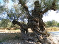 Olive tree nice skulpture of the Royalty Free Stock Images