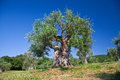 Olive tree old in tuscany italy Royalty Free Stock Photo