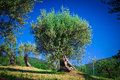 Olive tree old in tuscany italy Stock Photo