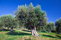 Olive tree old in tuscany italy Royalty Free Stock Photos