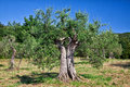 Olive tree old in tuscany italy Stock Images
