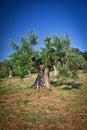 Olive tree old in tuscany italy Stock Photos