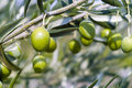 Olive Tree (Olea europaea) Stock Photo