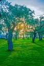 Olive tree orchard Royalty Free Stock Photo