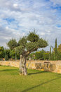 Olive tree in park Kiti Larnaca Cyprus Royalty Free Stock Photo