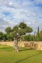 Olive tree in park Kiti Larnaca Cyprus Royalty Free Stock Photo