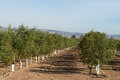 Olive tree plantation rows of young trees in a Stock Photo