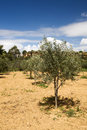 Olive tree Sapling Royalty Free Stock Image