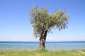 Olive tree by the sea blue aegean in thassos island greece Royalty Free Stock Photography