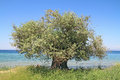 Olive tree by the sea blue aegean in thassos island greece Royalty Free Stock Photo