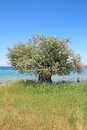 Olive tree by the sea blue aegean in thassos island greece Stock Photo