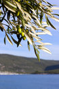 Olive tree at seaside Stock Photos
