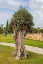 Olive tree in town park Kiti Larnaca Cyprus Royalty Free Stock Photo