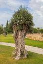 Olive tree in town park Kiti Larnaca Cyprus Royalty Free Stock Photo