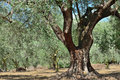 Olive tree trees grove in countryside kalamata messinia greece Royalty Free Stock Photography