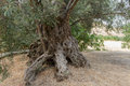 Olive tree trunk Royalty Free Stock Photo