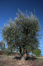 Olive tree in Tuscany Royalty Free Stock Photos
