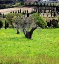 Olive tree, Tuscany landscape Royalty Free Stock Photos
