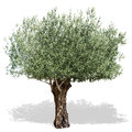 Olive tree  on a white background. Royalty Free Stock Photo