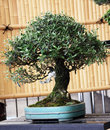 Olive tree, 70-year-old bonsai Royalty Free Stock Photo