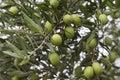 Olive Trees Royalty Free Stock Photo
