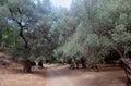 Olive trees Agia Irini Gorge Canyon, Crete, Greece Royalty Free Stock Photo