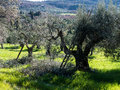 Olive trees being pruned and thinned in Italy Stock Images
