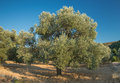 Olive trees and blue sky in turkey Stock Photography