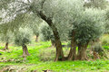 Olive trees in Crete Stock Images