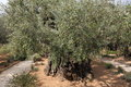 Olive Trees In Dominus Flevit ...