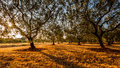 Olive Trees Filed Before The S...