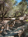 Olive trees garden stone stairs in the spring with olives Royalty Free Stock Images