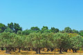Olive trees grove on the slopes of the hills israel Stock Photo