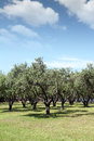 Olive trees nature summer scene Royalty Free Stock Photos
