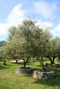 Olive trees in Olive Grove in full sun Royalty Free Stock Photography
