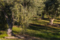 Olive trees in olive grove Royalty Free Stock Photo