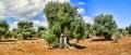 Olive trees. Royalty Free Stock Photo