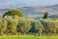 Olive trees plantation in harvesting time, agricultural landscap Royalty Free Stock Photo