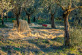 Olive trees plantation in harvesting time Royalty Free Stock Photo