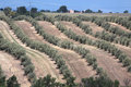 Olive trees in Provence Stock Image