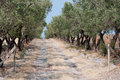 Olive trees road in plantation stock photo Stock Photo