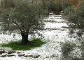 Olive trees in snow an tree grove white after snowfall Stock Images