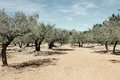 Olive Trees in spain Stock Photos