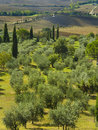 Olive trees in tuscany italy the countryside of Royalty Free Stock Photography