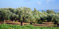 Olive trees under bright sunlight kalamata messinia greece Royalty Free Stock Image